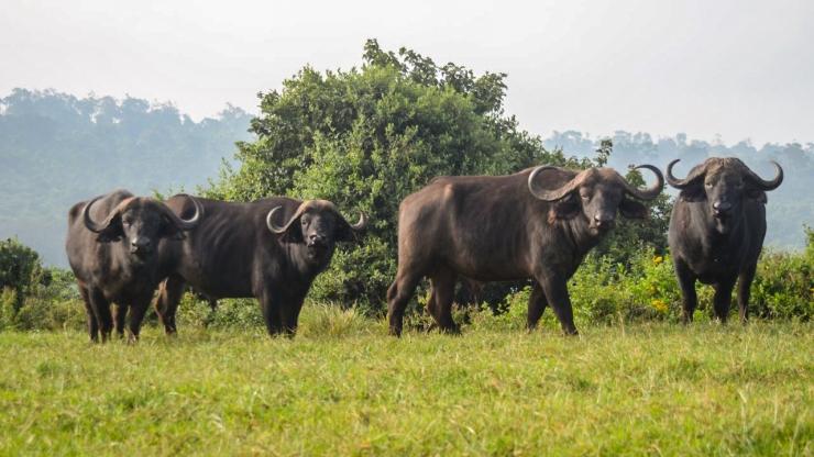 african-buffalo_gallery_1