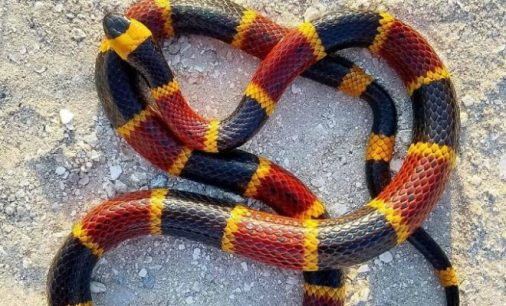 Eastern-Coral-Snake-660x400